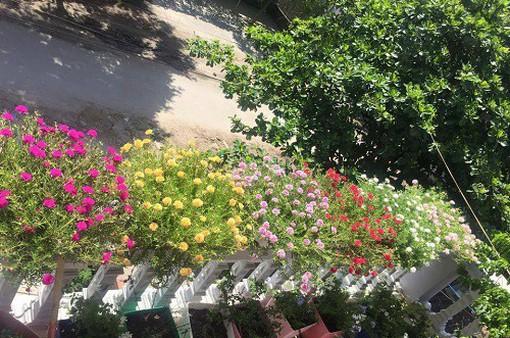 Mới lạ những chậu hoa mười giờ 10 màu
