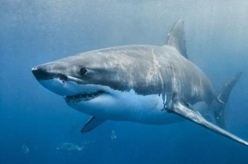 Cá mập tấn công bé gái 12 tuổi ở Australia