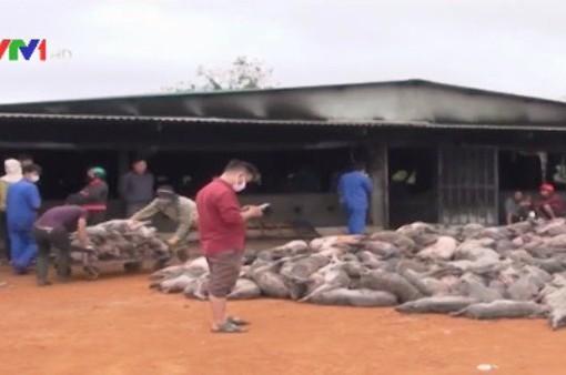 Cháy trang trại lợn ở Đắk Nông, 1.200 con lợn bị chết cháy