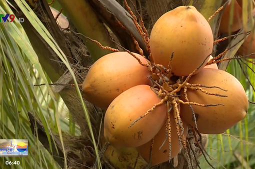 Độc đáo vườn dừa quả màu vàng cam ở TP.HCM