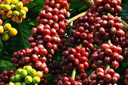 Nhiều giống cà phê có nguy cơ tuyệt chủng
