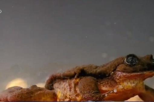 Chú ếch cô đơn 10 năm tìm được bạn tình