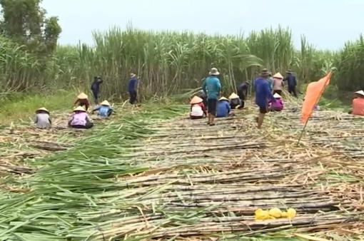 Diện tích mía đường Việt Nam tiếp tục sụt giảm mạnh