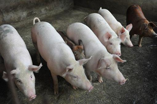 Dịch tả lợn châu Phi có dấu hiệu giảm dần