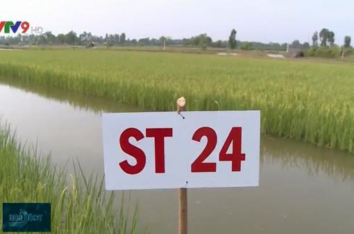 Ưu tiên nhân rộng sản xuất lúa ST25 với mô hình lúa - tôm