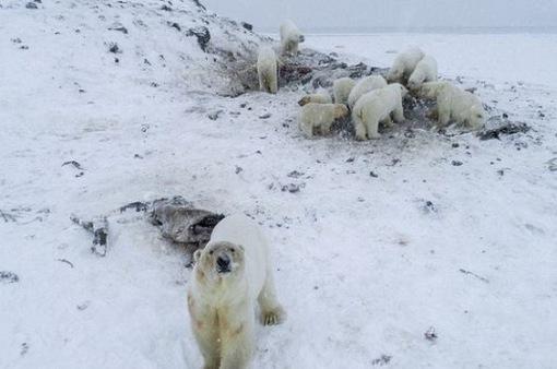 56 con gấu Bắc Cực sống trong ngôi làng ở Nga