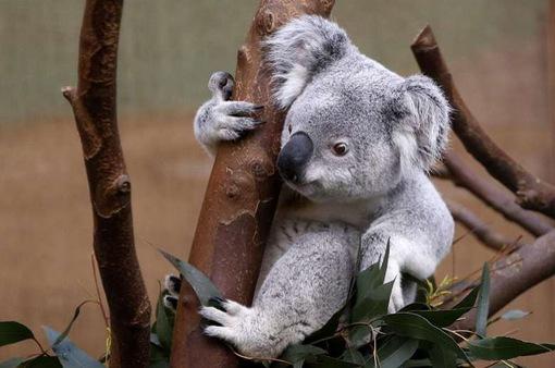 Cảnh báo nguy cơ tuyệt chủng gấu túi Koala