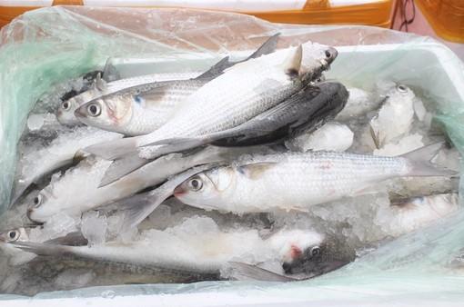 Bắt giữ và tiêu hủy hơn 1 tấn cá đối đông lạnh nhập lậu ở Quảng Ninh