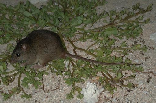 Loài động vật có vú đầu tiên tuyệt chủng do biến đổi khí hậu