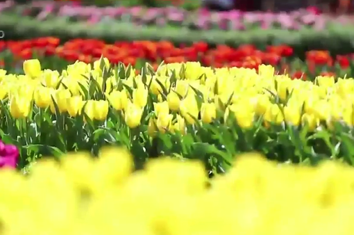 Lễ hội hoa tulip lớn nhất Việt Nam