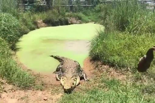 Rùng mình trước màn ngụy trang hoàn hảo của cá sấu