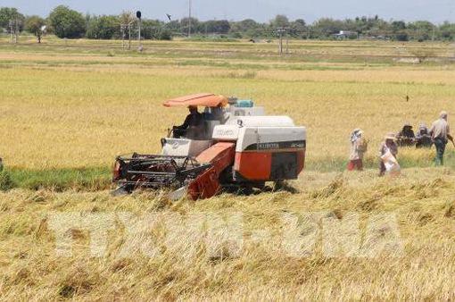 Giá lúa ở Trà Vinh tăng 300 đồng/kg