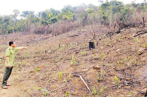 Vì sao hàng nghìn cây thông tại Lâm Đồng bị đầu độc?