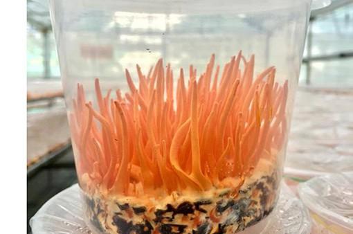 Việt Nam xuất khẩu đông trùng hạ thảo