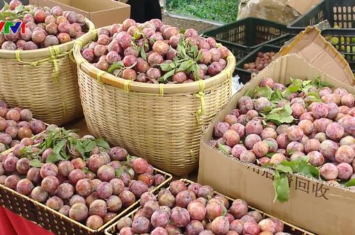 Đưa trái mận và nông sản an toàn tỉnh Sơn La về Hà Nội