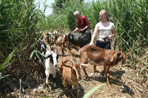 Dùng dê diệt cỏ dại để bảo vệ môi trường