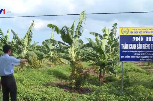 Cẩn trọng khi trồng giống sầu riêng nhập ngoại
