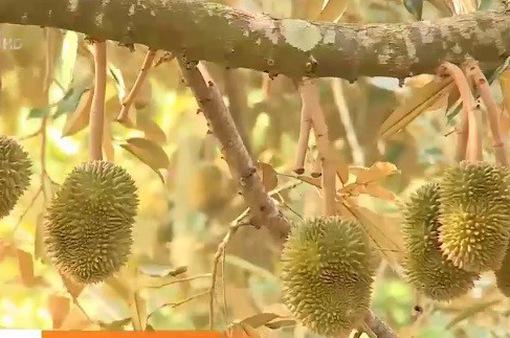 Người trồng sầu riêng Tây Nguyên thấp thỏm lo âu