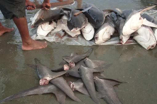 Canada cấm xuất nhập khẩu vây cá mập