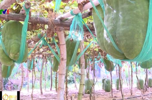 Làng trồng bí đao khổng lồ, có trái nặng tới 60kg ở Bình Định