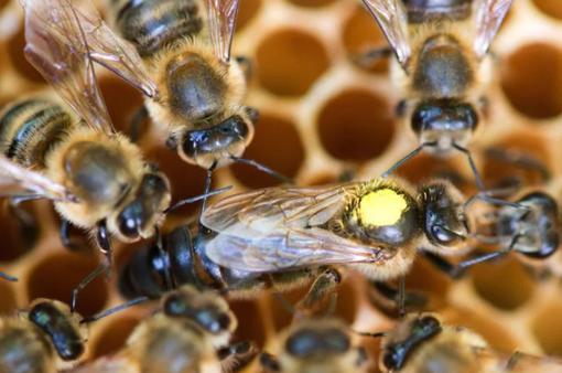 Liệu pháp chữa bệnh bằng tiếng ong