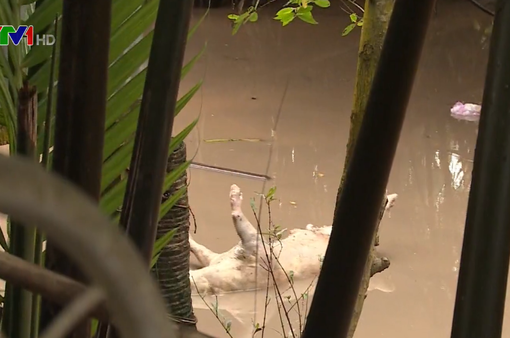 Xác lợn chết tràn lan trên sông ở Bến Tre