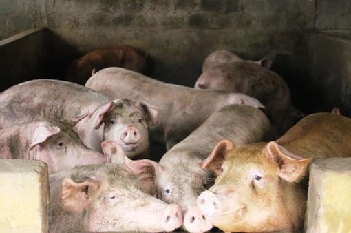 Giá lợn hơi tại miền Bắc tăng mạnh