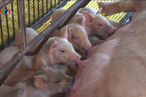 Người chăn nuôi e ngại tái đàn lợn phục vụ thị trường Tết