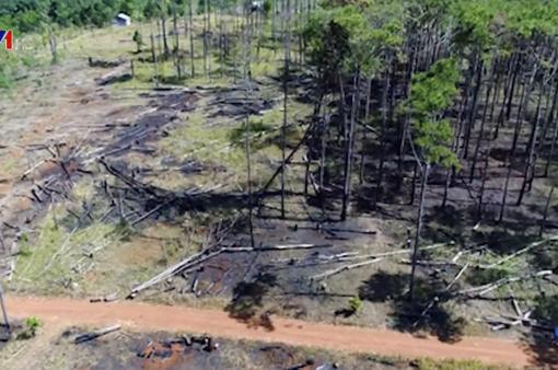 Hàng nghìn cây thông bị đổ hóa chất đầu độc