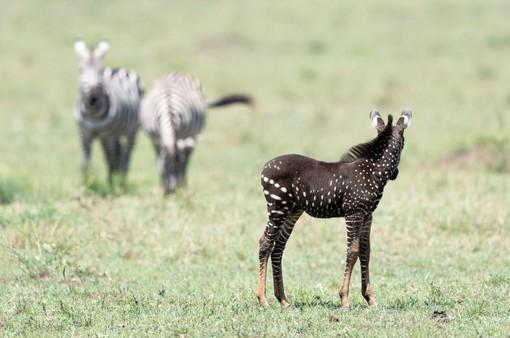 Ngựa vằn có đốm hiếm thấy ở Kenya