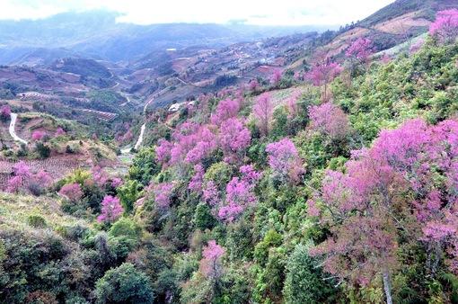 Rực rỡ sắc đào rừng ở vùng cao Mù Cang Chải