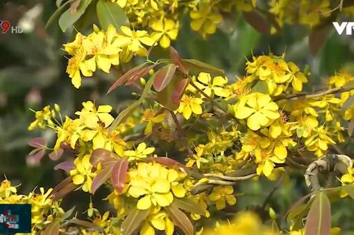 Ngập tràn sắc vàng mai Tết tại làng hoa Phước Định