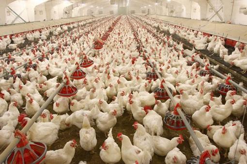 Dịch cúm gia cầm lan rộng ở miền Tây Nhật Bản, hơn 2 triệu con gà bị tiêu hủy