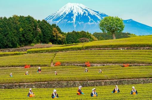 Khám phá vẻ đẹp nên thơ của Shizouka - quê hương núi Phú Sĩ