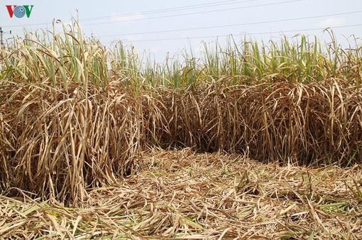 Gia tăng nguy cơ cháy ruộng mía trong mùa khô hạn