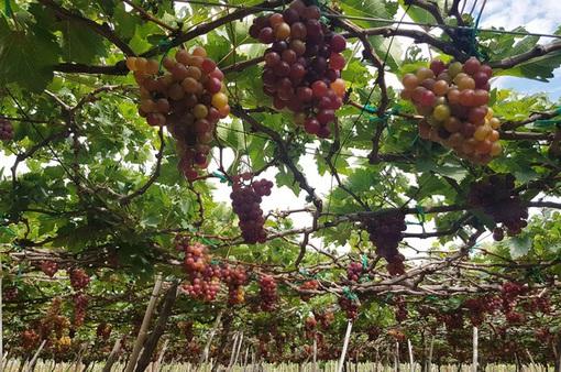 Nho Ninh Thuận vào mùa nhưng khó tiêu thụ