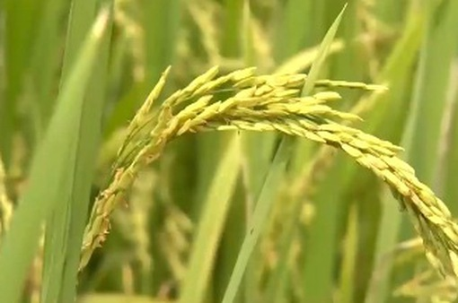 An Giang kiến nghị cho cơ chế xuất khẩu lại gạo, nếp
