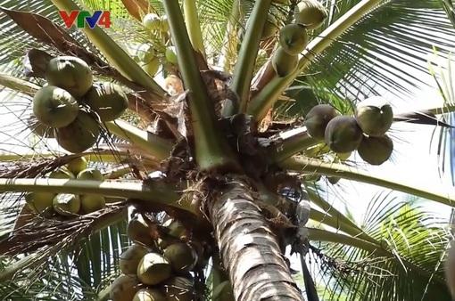 Trồng dừa hữu cơ thích ứng với biến đổi khí hậu