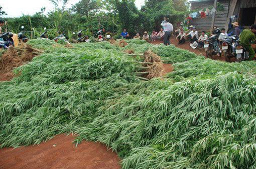 Nghe lời dụ dỗ, người dân trồng cần sa trên đất rẫy để lấy lá cho gà ăn