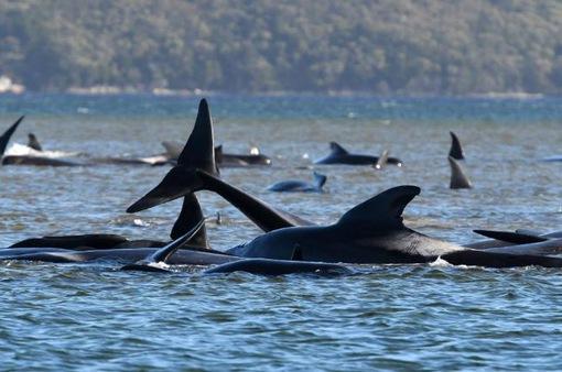 Hàng trăm con cá voi bị mắc cạn tại Australia, ít nhất 90 cá thể đã chết