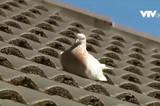 """Giới chức Australia đau đầu vì chim bồ câu """"bay lạc"""" từ Mỹ đến không qua kiểm dịch"""
