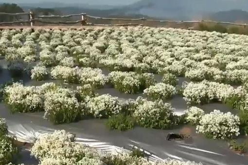 Độc đáo giống hoa mới - Tạo sức hút cho thị trường hoa Tết
