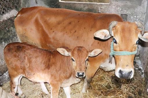 Bệnh lạ trên trâu, bò lan rộng ở Hà Tĩnh