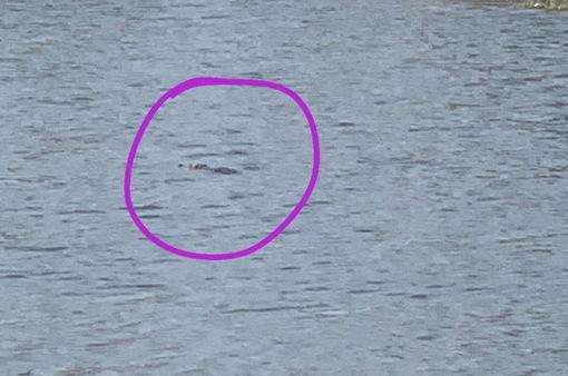 Nghi cá sấu bơi giữa hồ nước ở Vũng Tàu