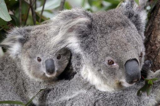 Tiêm vaccine ngừa bệnh lây qua đường tình dục chlamydia để kéo dài sự sống cho koala