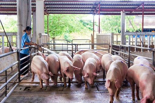Giá lợn hơi đang tăng lên từng ngày