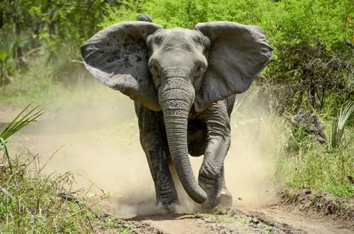 Nhiều cá thể voi không thể mọc ngà do nạn săn trộm