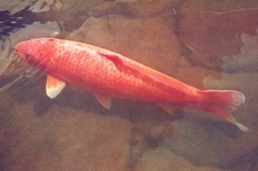 Con cá Koi già nhất thế giới 226 tuổi