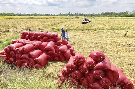 Giá lúa tăng cao, DN xuất khẩu khó đàm phán hợp đồng