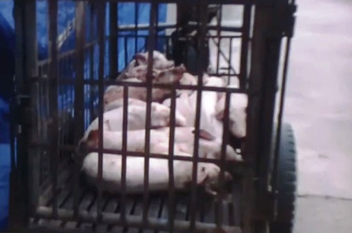 Vụ việc cơ sở giết mổ lợn bệnh, lợn chết: Trưởng thôn khẳng định kiểm tra thấy toàn lợn… ngon